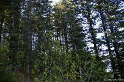 Tall trees in the Juneau Homestead Park.jpg
